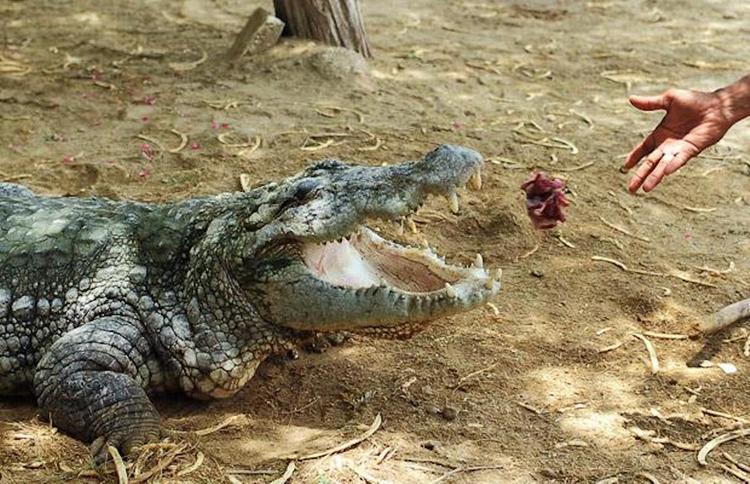 В Пакистане крокодилы едят только с рук