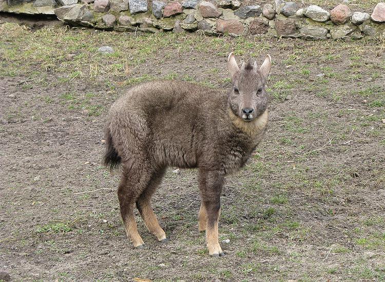В Приморье удалось сфотографировать редчайших копытных животных