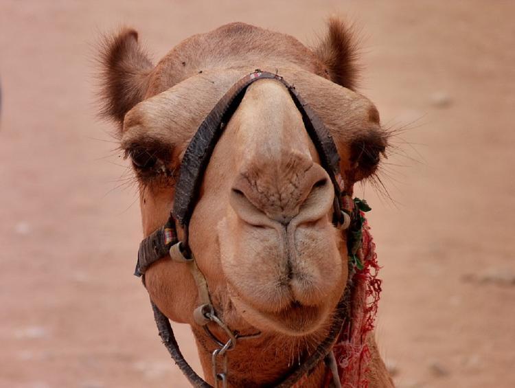 Видео: в Тамбове из цирка-шапито сбежали два верблюда и пони
