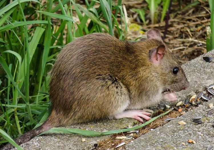 Зафиксирован первый в мире случай заражения человека вирусом гепатита E от крысы