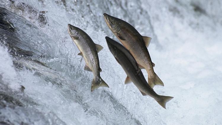Какие факторы влияют на наполняемость рек и вылов лососёвых