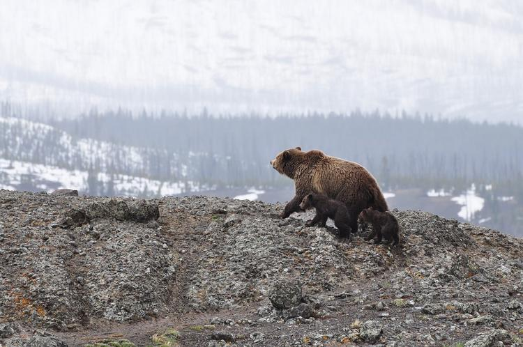 Следователи проверят, как охотился на медведя губернатор Иркутской области