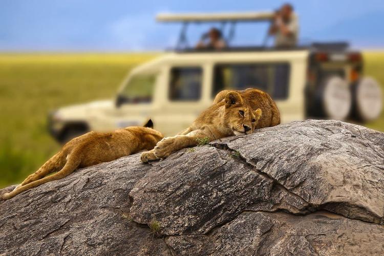 В ЮАР выращивают львов для услаждения охотников из России