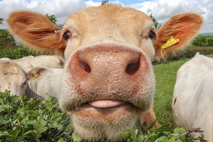 Миллионы лет назад коровы были хищниками