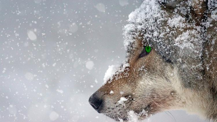 На Алтае прокуратура проверит видео, запечатлевшее, как  охотник убил волка