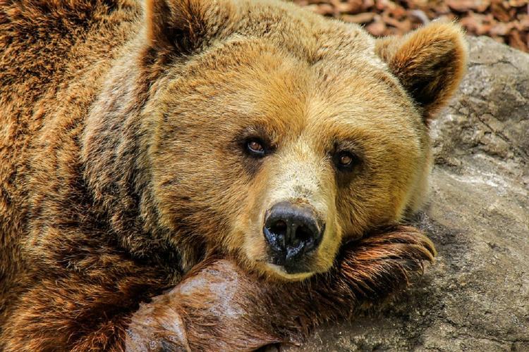 На Камчатке вышли из спячки медведи
