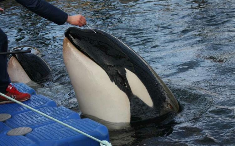 Новую партию косаток и белух из «китовой тюрьмы» привезли в Хабаровск