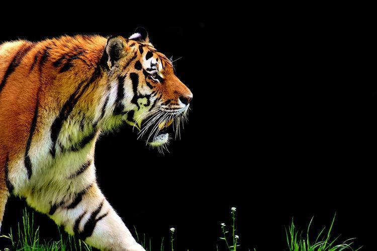 В Индии крестьяне требуют убить тигра, съевшего ноги сельчанина