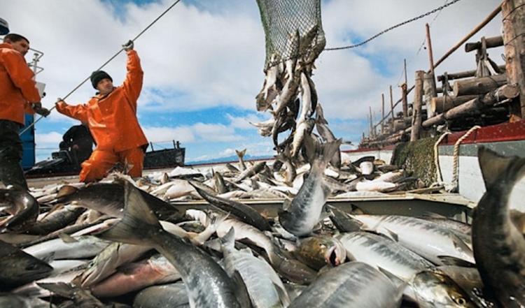 Амур исследуют на предмет исчезновения лососевых