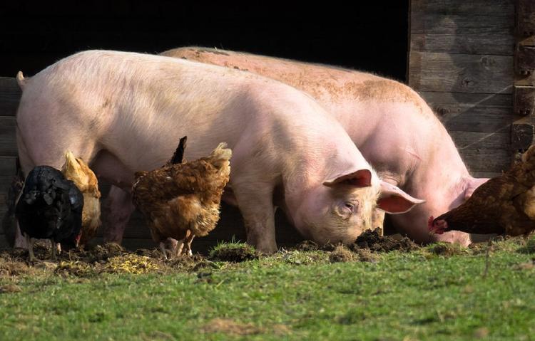 Смертоносная африканская чума свиней добралась до села Покойного