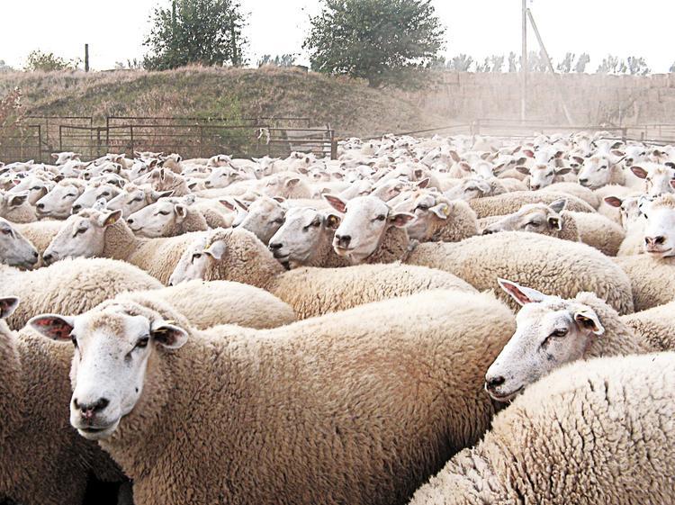Овцы России