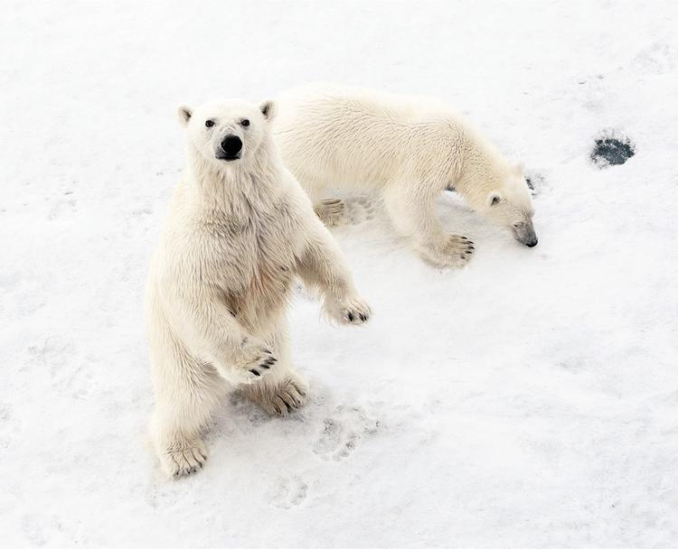 Медведи выходят из карантина