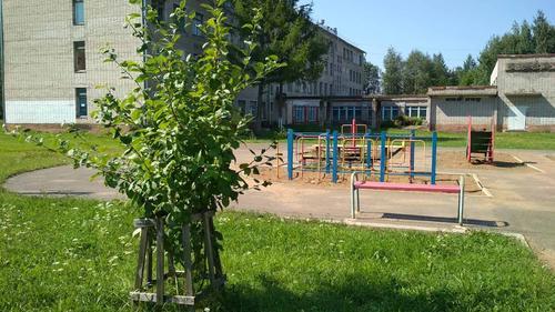 В Нововятске зреют яблоки в Садах Победы