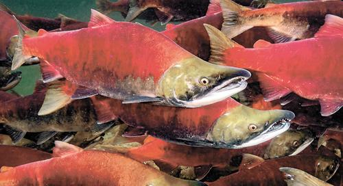 Росрыболовство сообщило, что в этом году «дефицита лососёвых и красной икры не будет»