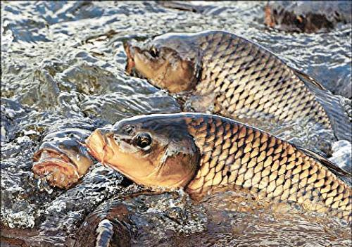 В Ростовской области создадут рыбные пастбища