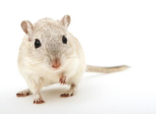 Хомячки останутся без прививки от ковида