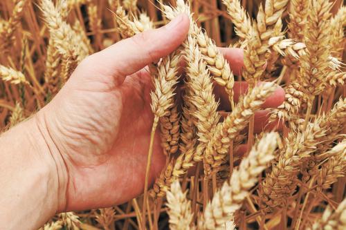 Урожай пшеницы в России в 2021 году будет меньше прогнозируемого