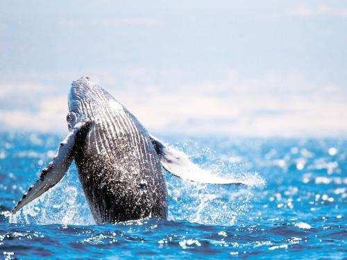 Учёные продолжают исследования серых китов