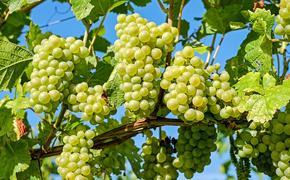 Саакашвили открыл бизнес в США - винодельческий завод, будет производить чачу