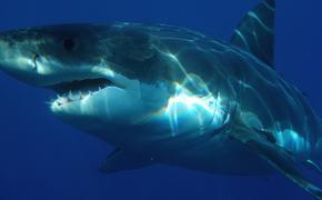 На Гавайях акула убила 65-летнего жителя Калифорнии