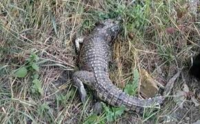 Откуда в Симферополе появились  крокодилы, - версии горожан