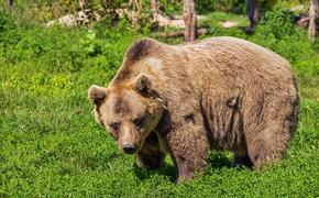 Медведь залез в дом, закрыл замок изнутри и уснул на шкафу