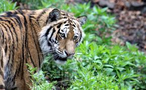В Иваново тигр выбежал на проезжую часть