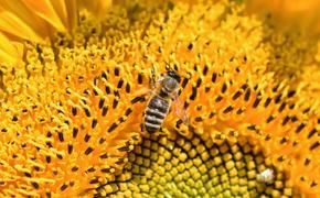 Эксперт: потери экономики России от гибели пчел могут составить триллион рублей