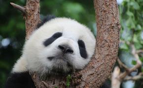 В  зоопарке туристы закидали панду камнями