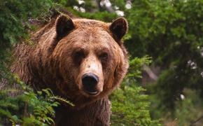 Российские медведи облюбовали Прибалтику
