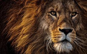 Ученые подсчитали количество львов в Африке