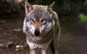 Гражданку Финляндии арестовали за контрабанду волков из России