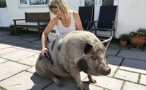 Свинское счастье. Подаренный британке минипиг оказался обычной свиньей, но это не помешало ему стать настоящим членом семейства