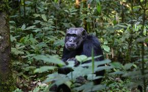 В Уганде шимпанзе похищают человеческих детей