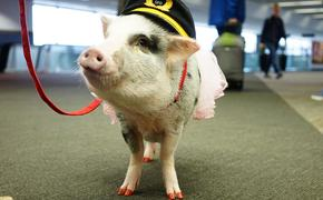 Зачем пассажирам в аэропорту Сан-Франциско подложили свинью?
