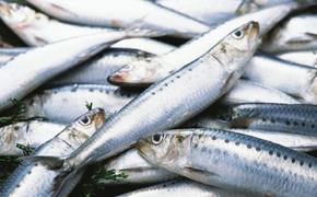Иваси спасается в водах Японии