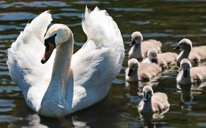 Массовая гибель лебедей наблюдается в Калининграде: возможно, их травят ядом