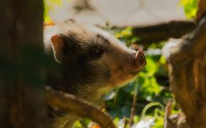 Гибрид обезьяны и свиньи родился в Китае