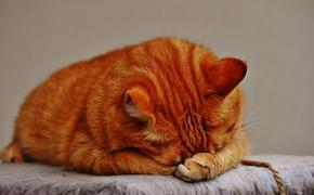 Названа самая популярная порода кошек в России