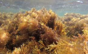 Что произойдет в Черном море, если исчезнут бурые многолетние водоросли