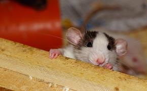 Астролог назвал цвета, подходящие для года Крысы