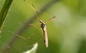 Комары могут не пережить  теплую  зиму, - сообщил учёный