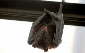 Почему болезни летучих мышей так опасны для человека?