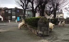 Во время коронавируса в Британии на улицу вышли козлы