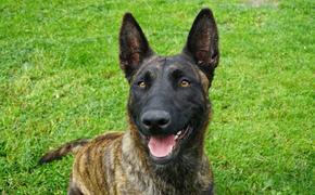Финские ученые научили собак распознавать коронавирусных больных