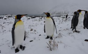 Внук Жак-Ива Кусто предсказал скорое исчезновение пингвинов в Антарктиде