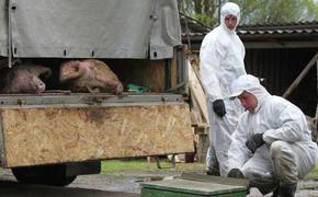 Жители села в Хабаровском крае задыхаются от вони сожженных свиней