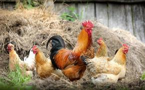 На Казахстан обрушилась эпидемия птичьего гриппа