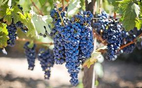 Агроном Викулов заявил, что виноградом нельзя злоупотреблять из-за большого количества сахаров