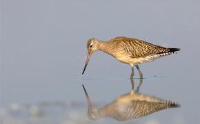 Птица пролетела 12 тысяч километров без посадки
